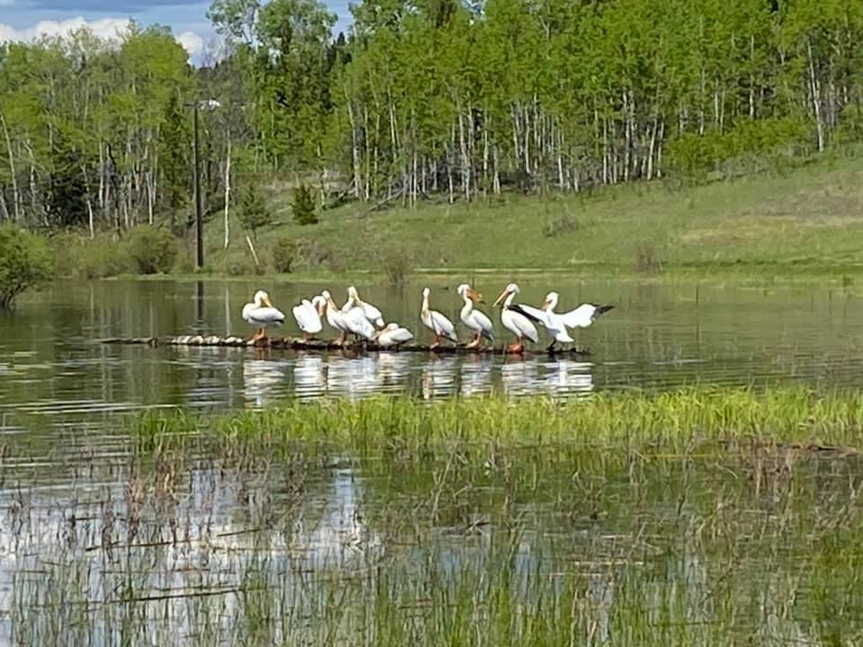 Pelicans on Sepa Lake